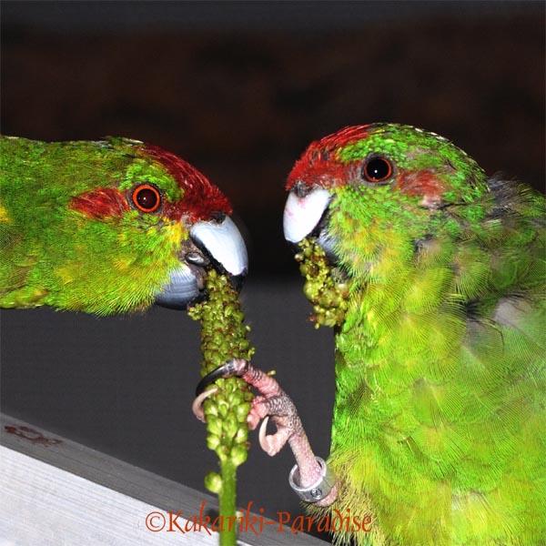 Ziegensittichpaar frißt Breitwegerich