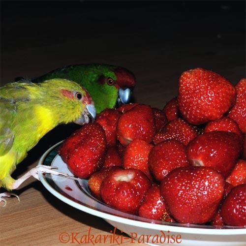 Ziegensittiche fressen Erdbeeren