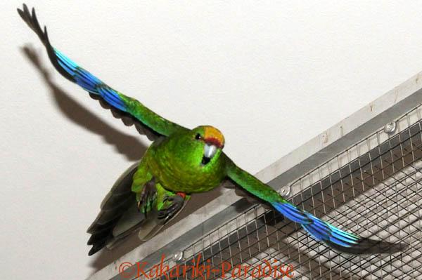 fliegender Springsittich